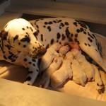 Добре дошли на кученцата от кучило К на развъдник Divalinor!