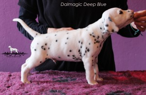 saitDalmagic Deep Blue 1 month rigt side