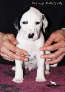 saitDalmagic Dotty Spotty 1 month head
